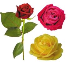 三朵玫瑰圖片