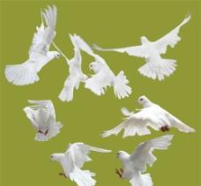白鸽分层素材图片