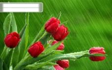 高清雨中玫瑰素材背景图片免费下载