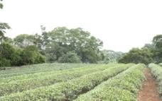 茶葉田图片