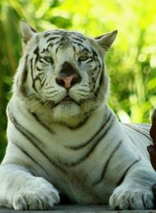 白老虎图片