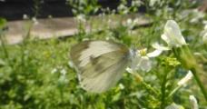 蝴蝶 萝卜花图片