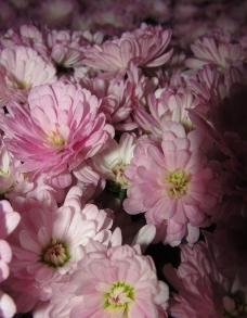 一簇粉色菊花图片