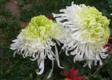 白中透绿的菊花图片