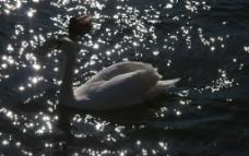 白天鹅 丑小鸭图片