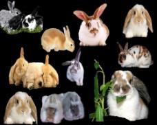 多只可爱兔子PSD素材