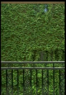 爬牆的植物图片